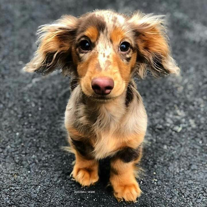Pin By Destiny Daniel On Character Ref Cute Dogs Dachshund