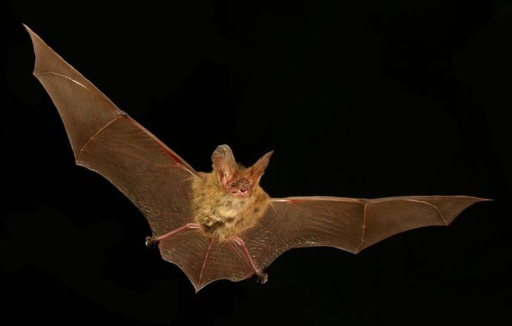 La roussette de Nouvelle-Guinée  Cette chauve-souris se trouve en Papouasie et en Nouvelle-Guinée. Elle habite dans les cavernes de forêts humides, situées entre 1000 et 2400 mètres d'altitude. La roussette de Nouvelle-Guinée est particulièrement menacée par la chasse et les perturbations humaines.