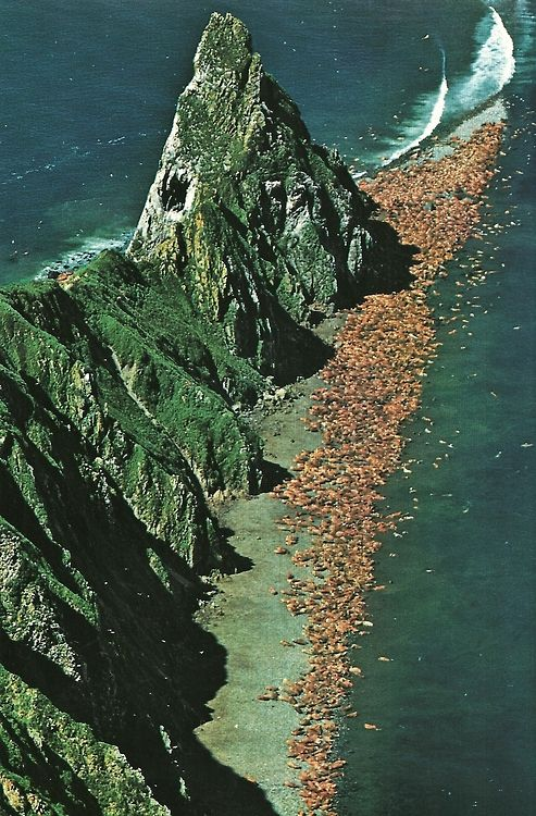 Walruses on Alaska's Round Island National Geographic | October 1979