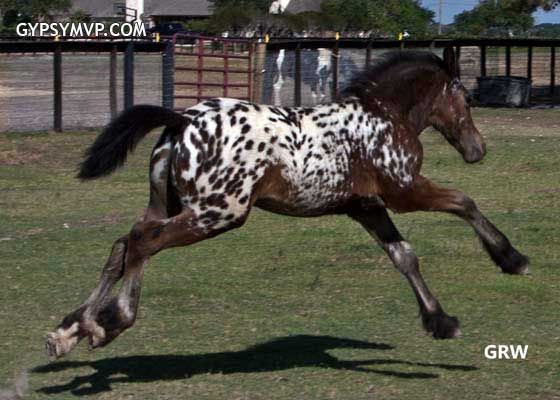 Gypsian (Gypsy/Friesian Cross) | Colt | Spotted Bay | Lone Star