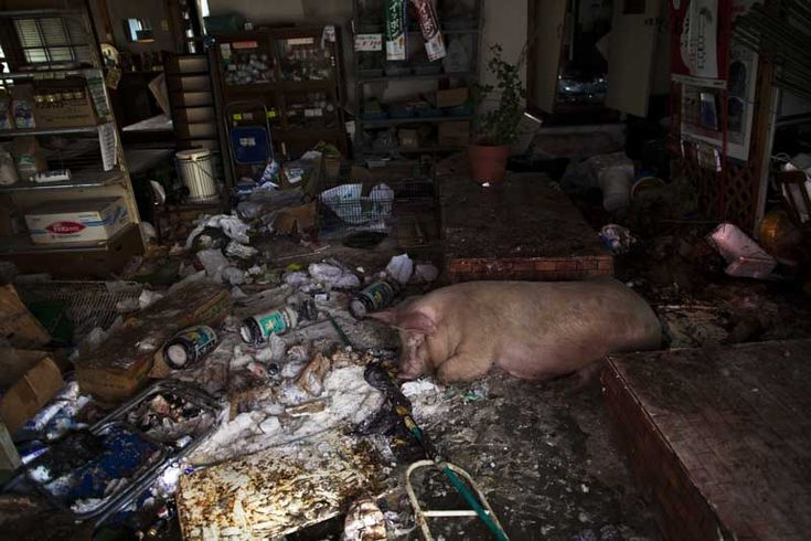 A hog naps following eating a meal inside an abandoned feed store and after wandering the deserted streets of downtown Namie, Japan.