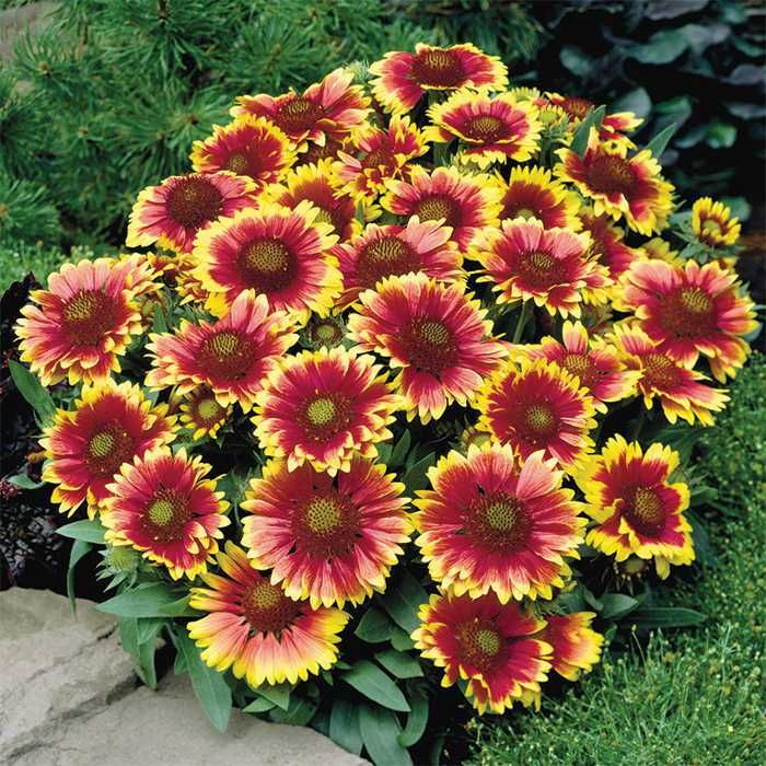 25 best ideas about drought tolerant plants on pinterest texas plants drought tolerant - Flowers that love full sun and heat ...