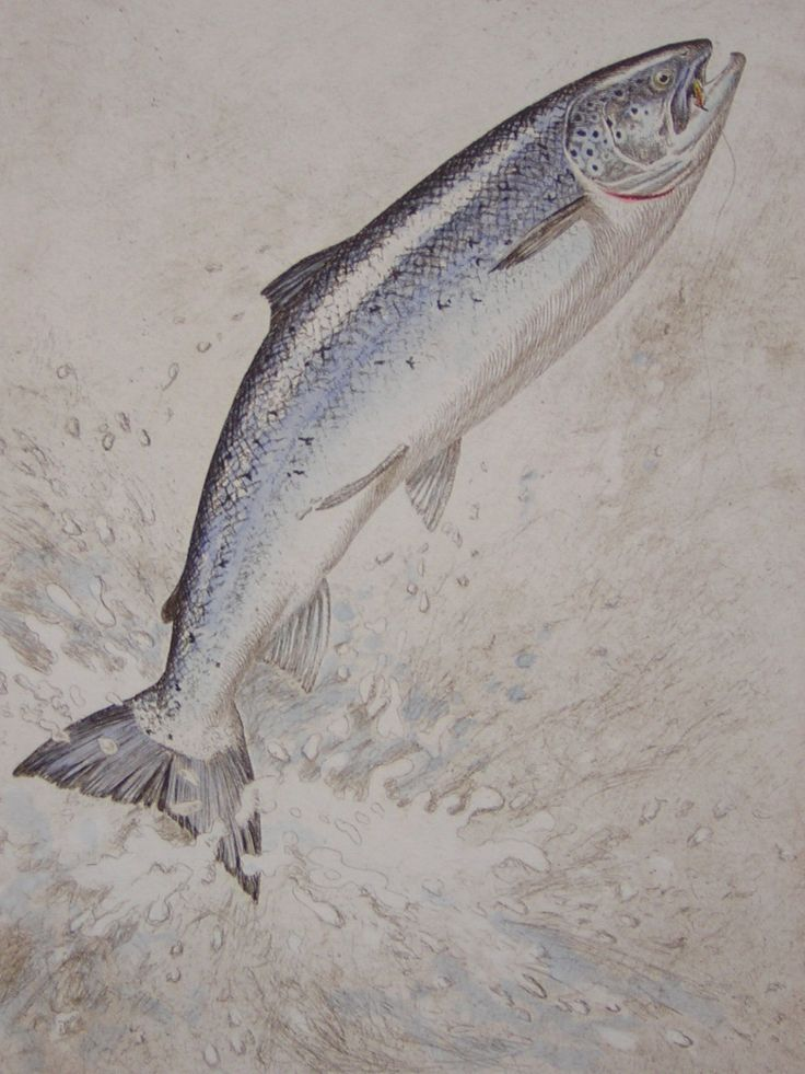 335 best fly fishing fish images on pinterest fishing for Atlantic salmon fishing