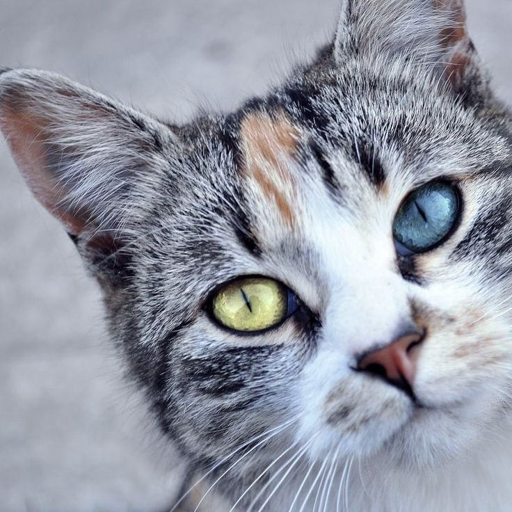 Odd-eyed Cat.  Gorgeous!