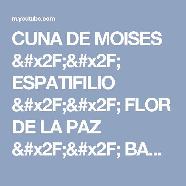 CUNA DE MOISES // ESPATIFILIO // FLOR DE LA PAZ // BANDERA BLANCA // SPATHIFHYLLUM - YouTube