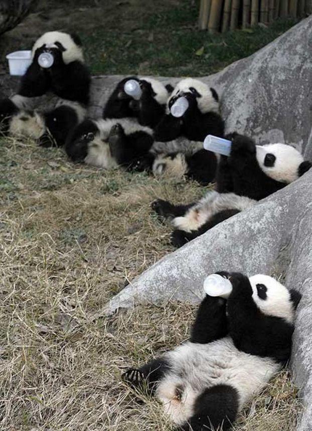 sick ...just sick!Happy Hour, Pandas Baby, Baby Pandas, Milk, Dinner Time, Baby Animal, Pandas Bears, Pandas Drinks, Baby Bottle