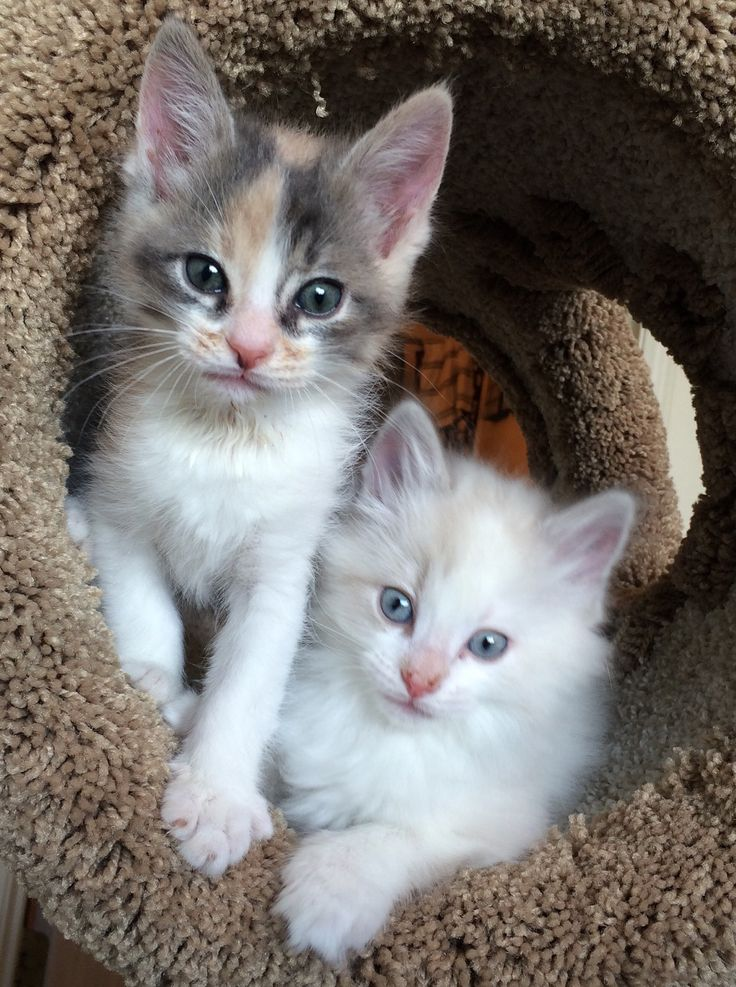 Adorable Kittens! One calico and one ragdoll Kittens