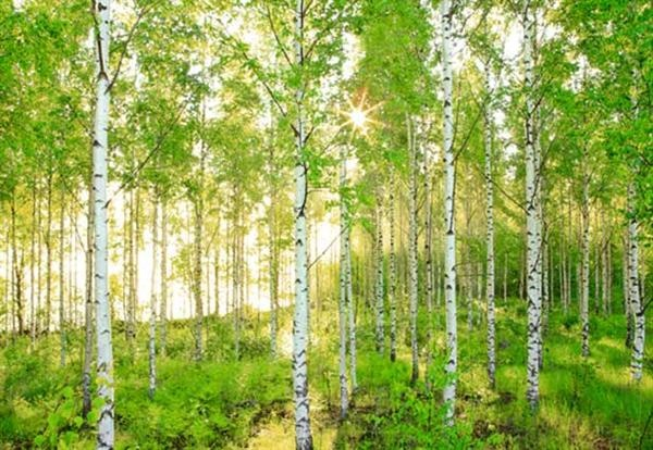 Photo wallpaper of the most fantastic birch forrest. Would love to have it in my bedroom!