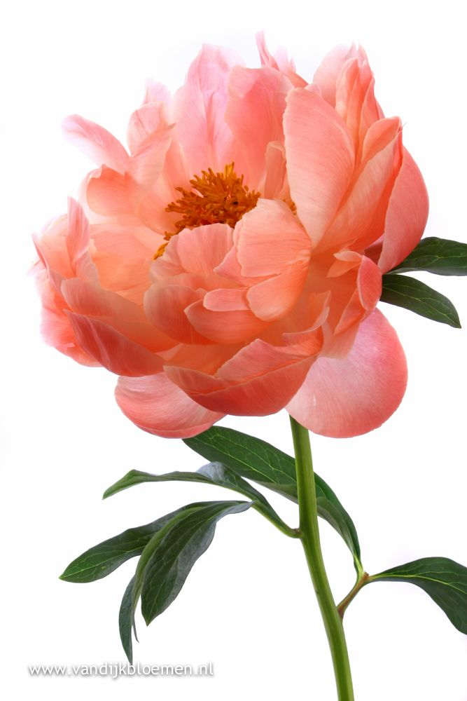 25 best ideas about coral peonies on