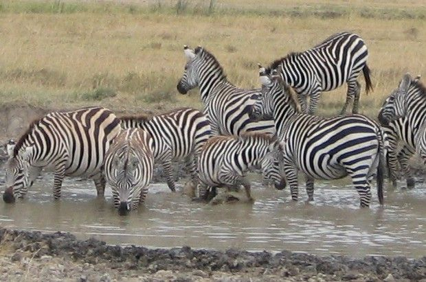 The great annual migration of millions of zebra, wildebeest and other antelope top almost every list of safari experiences and East Africa is the stage for the world's greatest wildlife drama.