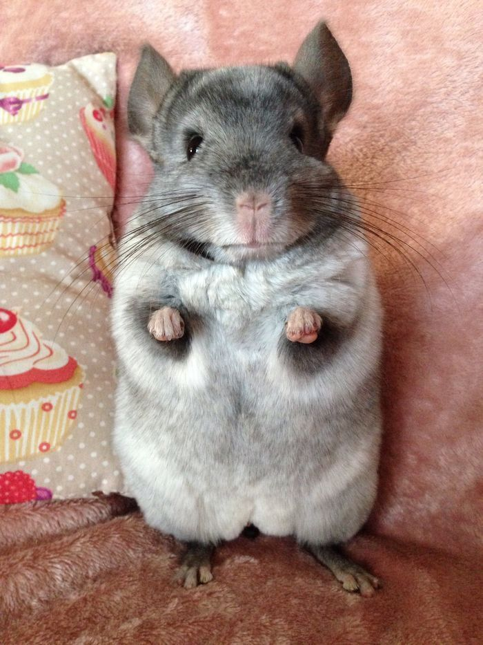 Did you say treats? #chinchilla #yummypets