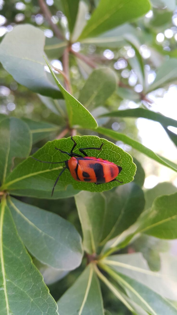 Bug in red