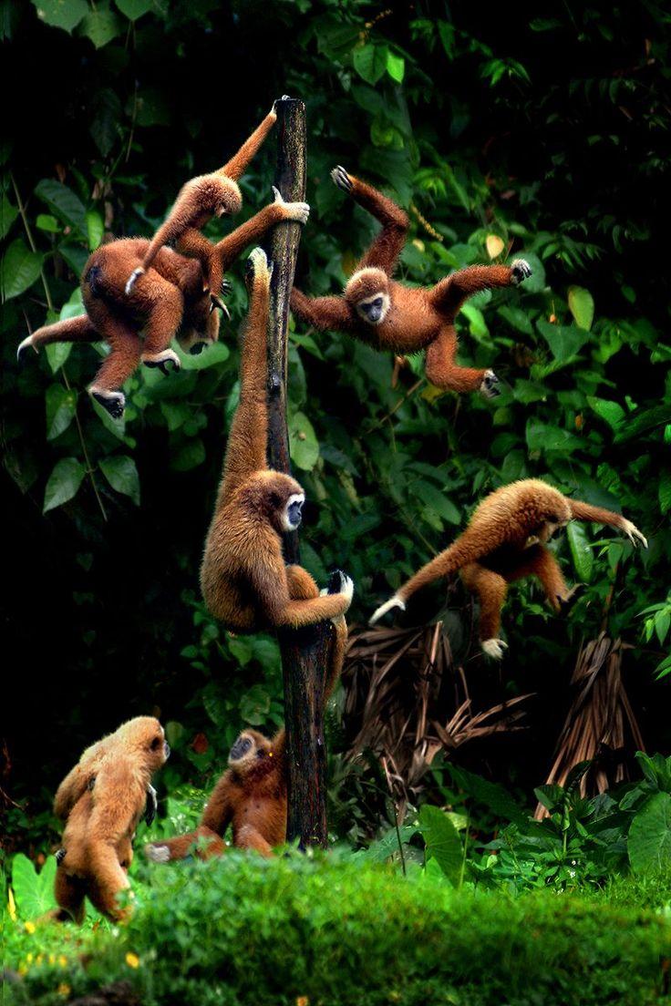 A barrel of Monkeys game live!