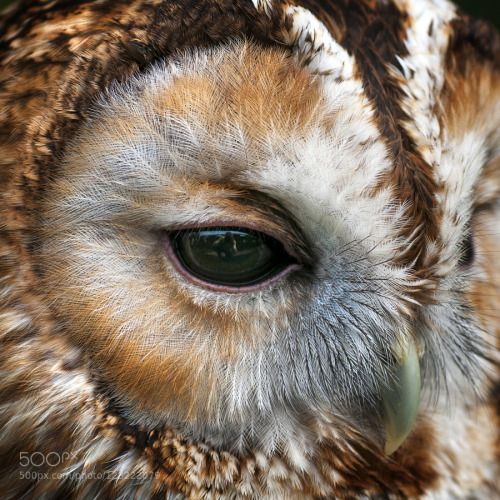 superbnature:  Tawny owl up close by chrisspracklen http://ift.tt/1PxnFSs