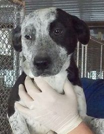 01/02/2017 SUPER URGENT ADOPT Kiwi - TO BE DESTROYED 01/04/2017 just because the shelter is full, black and white adult female shepherd mix, ID# 16-D3839 contact Robeson County Animal Shelter St. Pauls, NC directly for more information about her, Phone: 910-865-2200. Act quickly if you are interested in adopting.