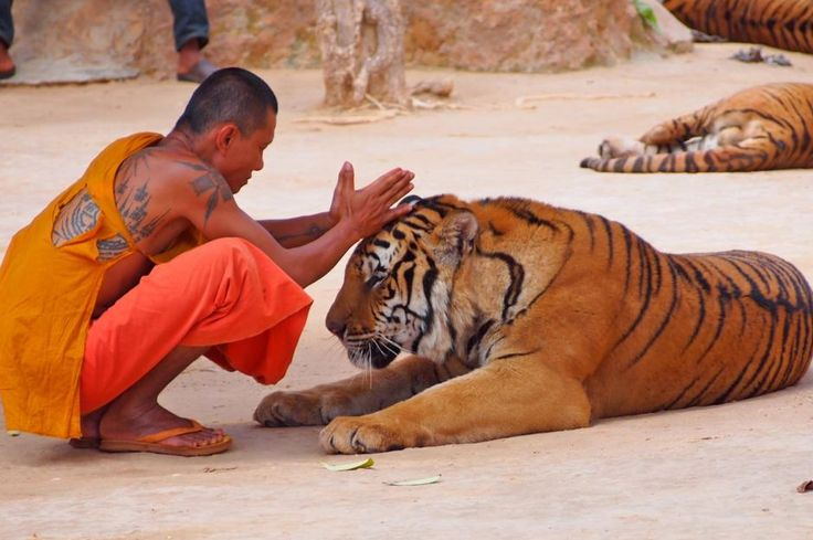The Tiger Temple  by humanimafoundation: Also known as Wat Pha Luang Ta Bua Yannasampann, in West Thailand, has been a utopia for monks and tigers since 1999. #Thailand #Tiger_Temple