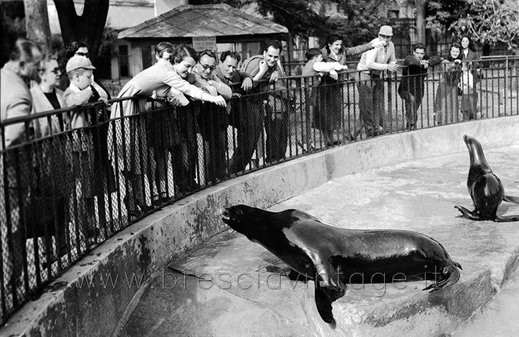 Lo zoo di Brescia - Le foche http://www.bresciavintage.it/brescia-antica/foto-d-autore/zoo-brescia-foche/