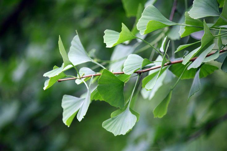 Ginkgo biloba, propiedades de un árbol que vivió con los dinosaurios