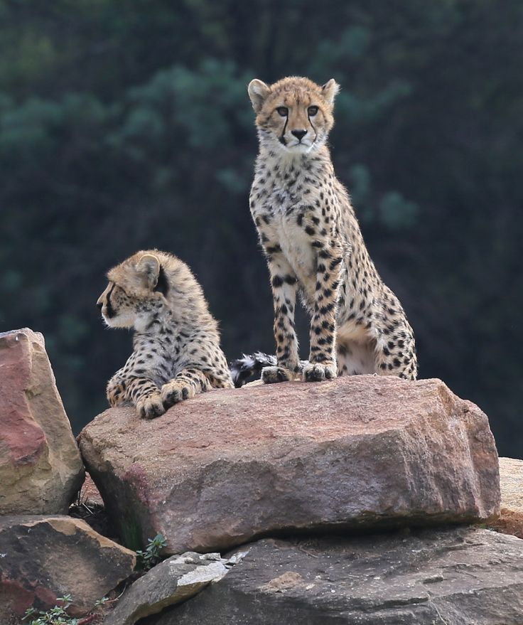 A visit to Taronga Western Plains Zoo to see their new baby Cheetahs!