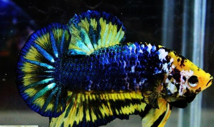 100 ideas to try about aquarium live fish cichlids and for Fish that can live with betta fish