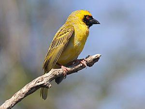 Yellow Masked Weaver (aka Yellow Finch)