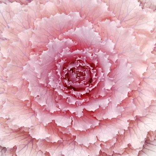 Flowering kale |  yossarian_yo