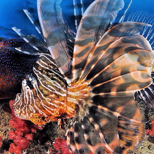 Photo by @thomaspeschak  A Lionfish hunts baitfish at Doodles Reef in the Ponta Do Ouro Marine Reserve, #mozambique. While this species is highly invasive in the Atlantic Ocean lionfish are native and important predators on Indian Ocean coral reefs. Shot on assignment for @natgeo for the Dec 2014 story on southern African marine reserves. #africa #coral #conservation @thephotosociety @natgeocreative