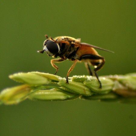 Flies rice