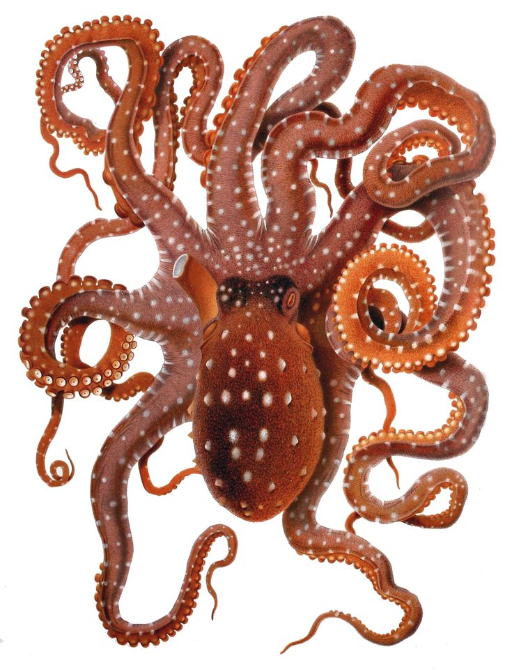 206 best images about octopuses on pinterest | the octopus, baby, Cephalic Vein