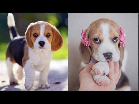 Funny And Cute Beagle Puppies Compilation 2 Cutest Beagle Puppy