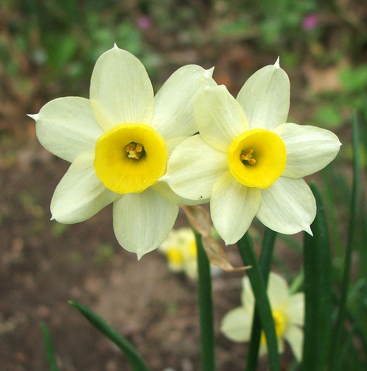 Yellow And White Daffodil Flowers Orange Days Are Organized To Raise Funds By Offering The
