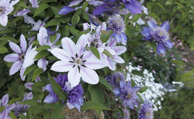 Clematis: Blütenpracht von Frühling bis Herbst