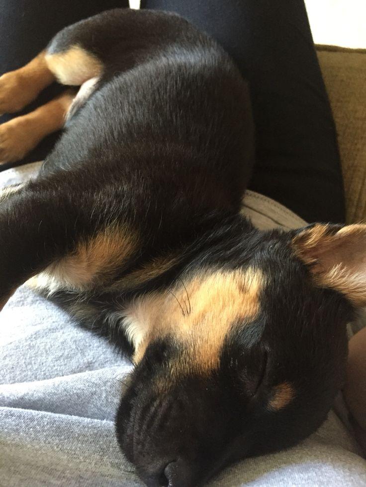 Sleepy puppy #Baxter #Jackchi #Puppy