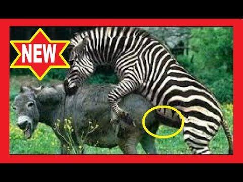 cruzamento de cavalo com zebra veja o animais engraçados que deu esta cr...