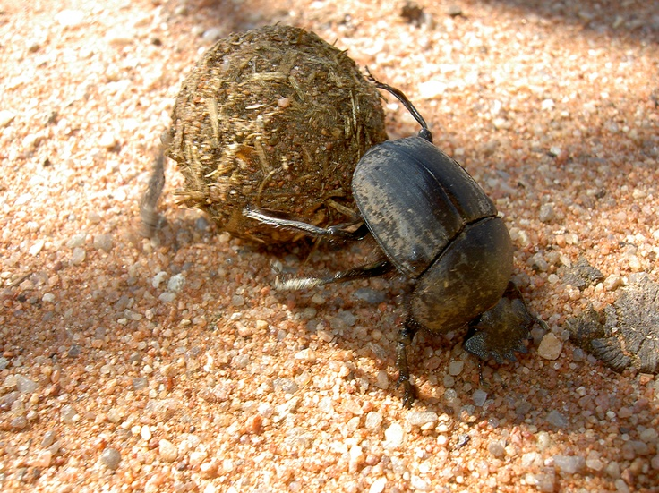 dung beetle in action...