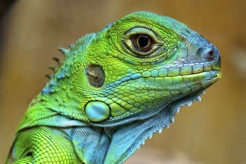 colorful Lizard - Yahoo! Image Search Results