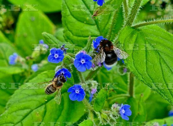 Seasonal weather, Henley on Thames, Britain - 08 Jun 2016  Two bee on wild flowers along the banks of The River Thames Henley 8 Jun 2016