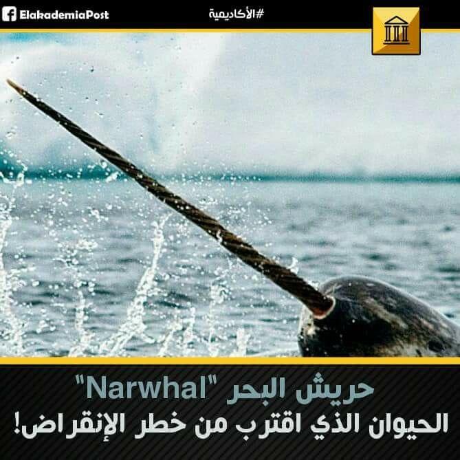 حريش البحر Narwhal هي مخلوقات غريبة وجميلة مع أنياب طويلة تبرز من رؤوسهم يصل عددها لأكثر من 80000 فرد ويصل وزن الواحد إلى 4200 ر Baseball Bat Baseball Narwhal