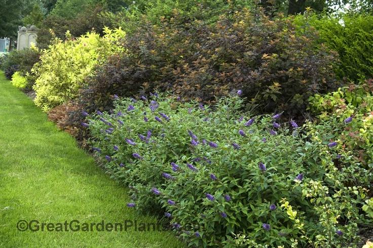 17 best images about shrub borders on pinterest gardens for Shrubs for garden borders