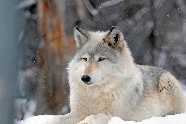 Weiss Grauer Wolf Im Schnee Liegend Grey Wolf Beautiful Wolves Animals Wild