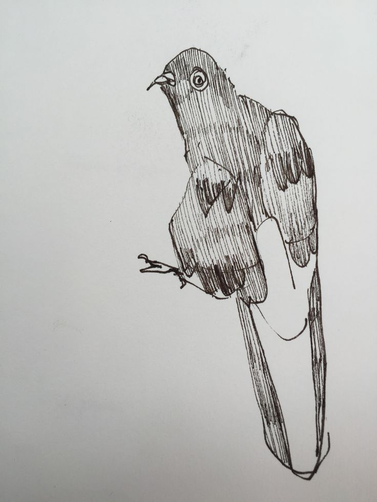 2017 Never Fenced Country - pigeon 1. 20x30 Ink on Paper.