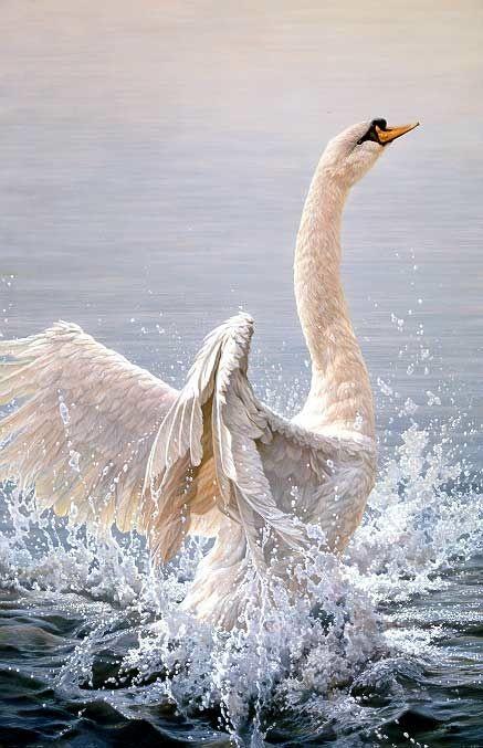 John Seerey-Lester - Bathing Mute Swan.