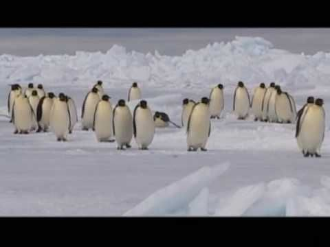 ▶ LONG MARCH OF THE EMPEROR PENGUIN- Manchot Royal - Naturellement - Disneynature - YouTube