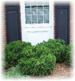 Holly 39 carissa 39 low maintenance shrubs for the south 4 for Low maintenance evergreen shrubs