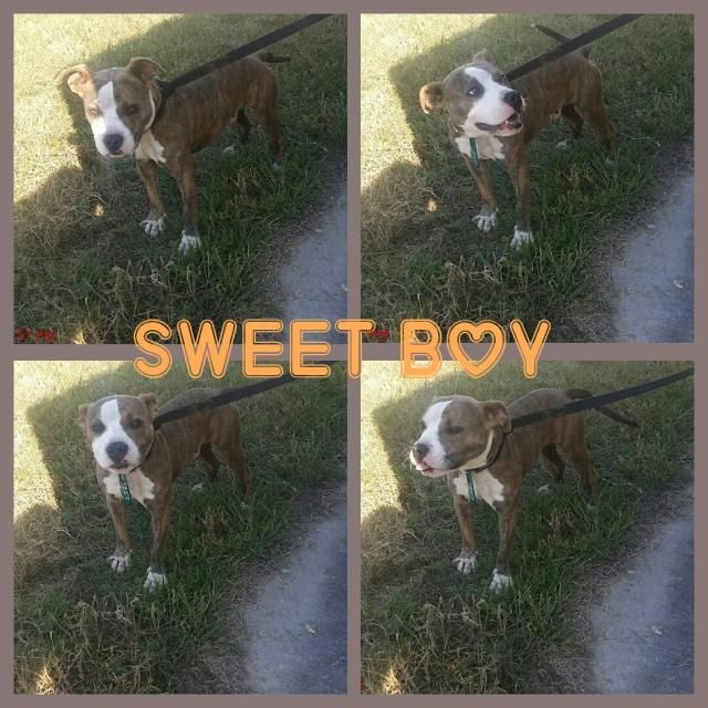 11/16/16-HOUSTON - SUPER URGENT - HIGH KILL FACILITY IS OVER CAPACITY -DENVER - ID#A472317 My name is DENVER I am a male, brown brindle and white Boxer mix. The shelter staff think I am about 10 months old. I have been at the shelter since Nov 14, 2016. This information was refreshed 54 minutes ago and may not represent all of the animals at the Harris County Public Health and Environmental Services.