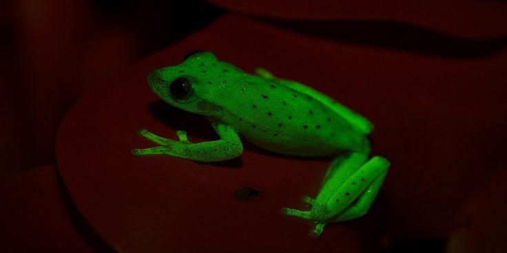 BİLİM DÜNYASI ///  Bilinen İlk Doğal Işık Saçan Amfibi