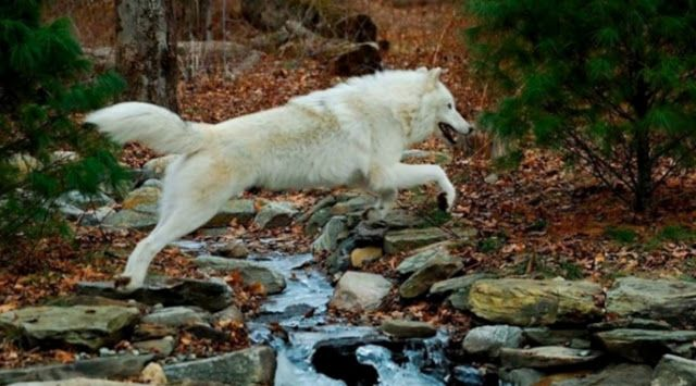White Wolf : A Message for All Women: Run Free and Wild Like the Wolf