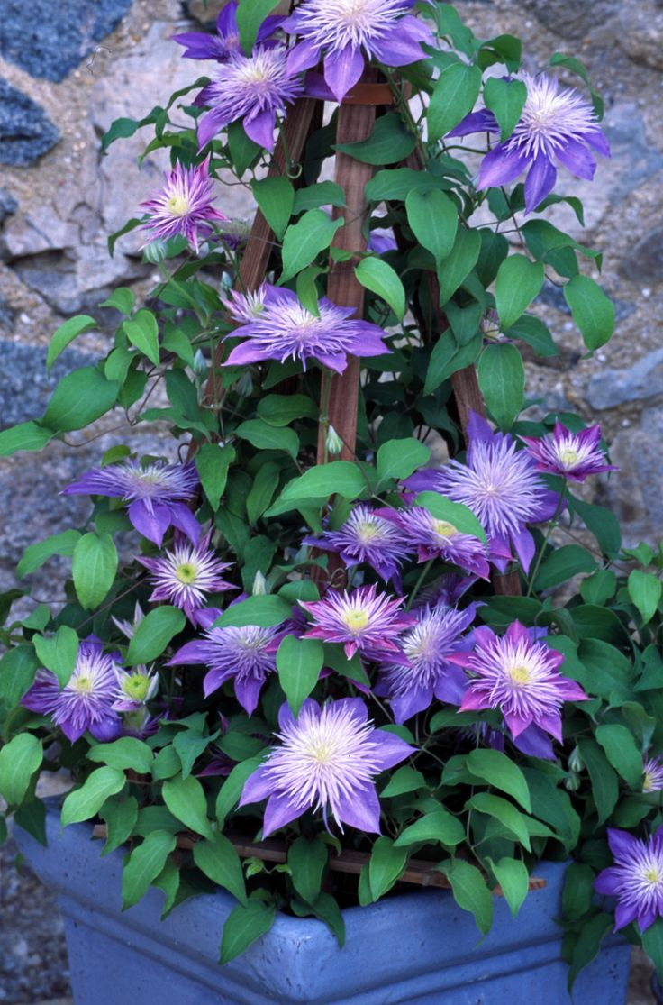 'Crystal Fountains' Clematis from Raymond Evison