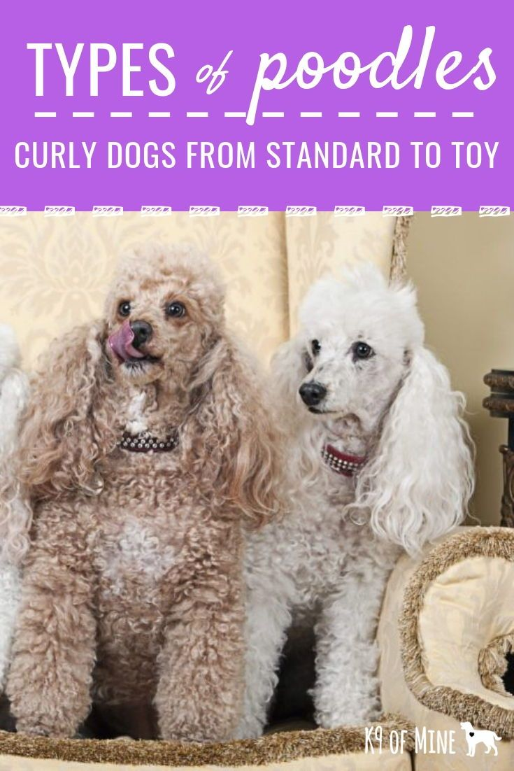 5 Types Of Poodles All Kinds Of Fluffy Sizes Shapes And Colors