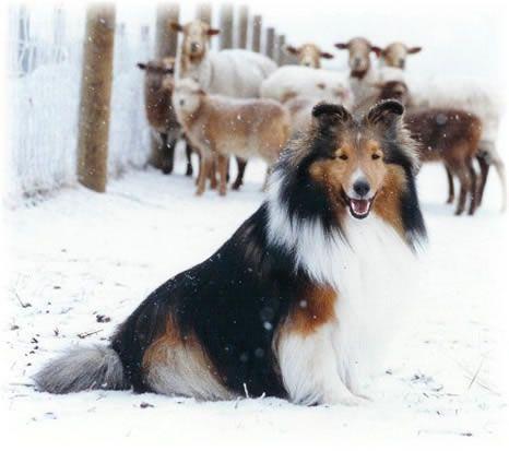 Halcyon Shetland Sheepdogs- I love Shelties!